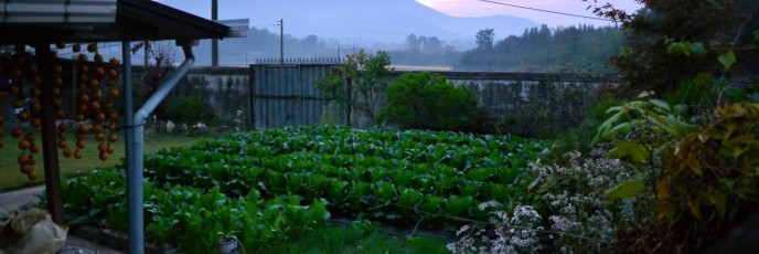 Morning light reaches the dewy leaves of cabbage and pepper plants which seem to fill every garden in the area