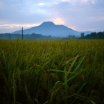 A lone mountain rises above valleys filled to capacity with the precious harvest of rice
